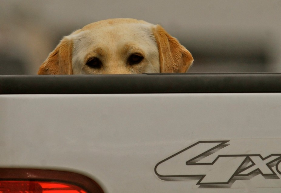 Gabby peeking out of the back of her owner's truck.