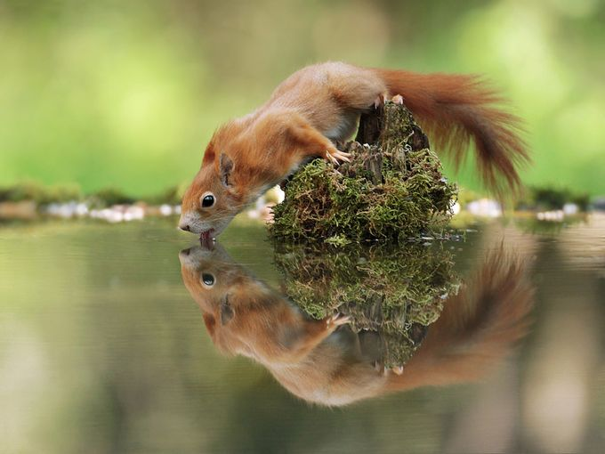 Thirsty Squirrel by Julian_Rad - Your Point Of View Photo Contest