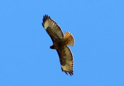 Red-tail hawk in flight