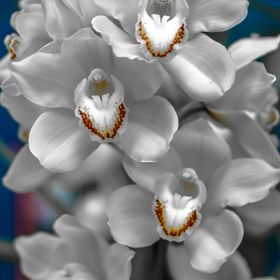 White Orchids photographed at the annual Bendigo Orchid Show (Oct 2016)