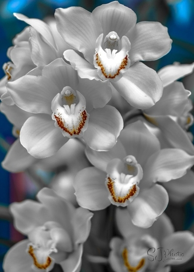 White Orchids in a Row