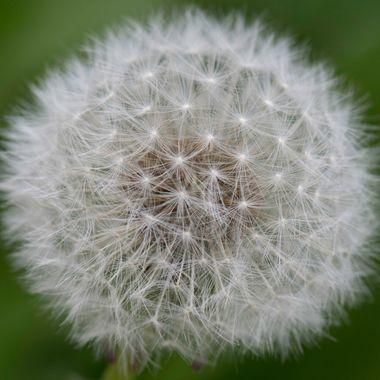Dandilion Seed haed