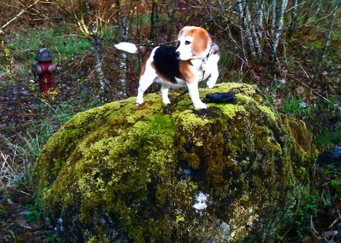 Best Beagle copy