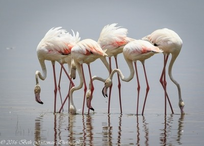 greater flamingos - Lake Manyara National Park, Tanzania