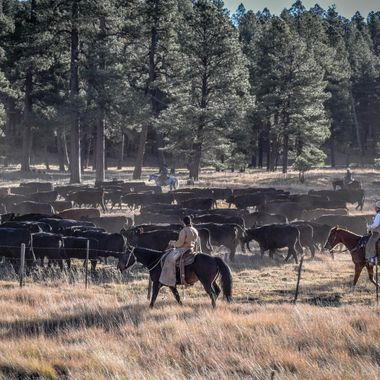 A cattle drive near Flagstaff, AZ.