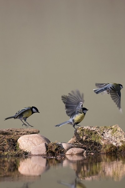 Great Tit in Motion