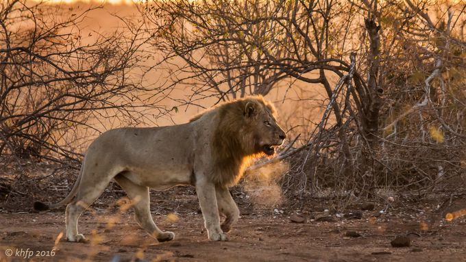Enkoveni Lion 3 by Karl-Heinz - Explore Africa Photo Contest