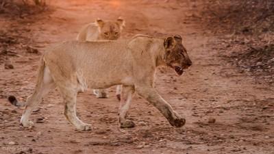 Enkoveni Lion 4