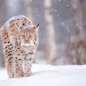 Irja is one of the two four month old lynxpups that live in Langedrag naturpark, Norway.