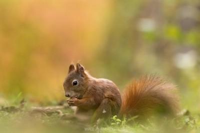 Squirrel in Autum