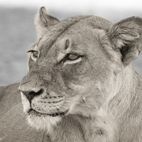 Portrait of a lioness in Kgalagadi Transfrontier Park in South-Africa