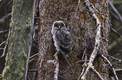 Great Grey Owl Fledgling