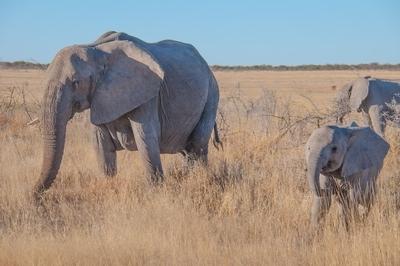 Happy elephant family!! Etosha NP, Namibia