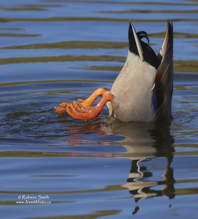 Tipping Drake Mallard Duck with Orange Feet up - Photo by Robson Smith