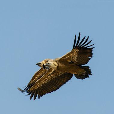 Bardenas, Vultures