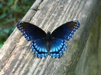 1 Sep 2013-butterfly