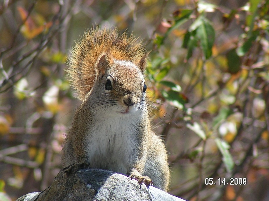 A very interested Squirrel is watching me in NOVA SCOTIA CANADA
