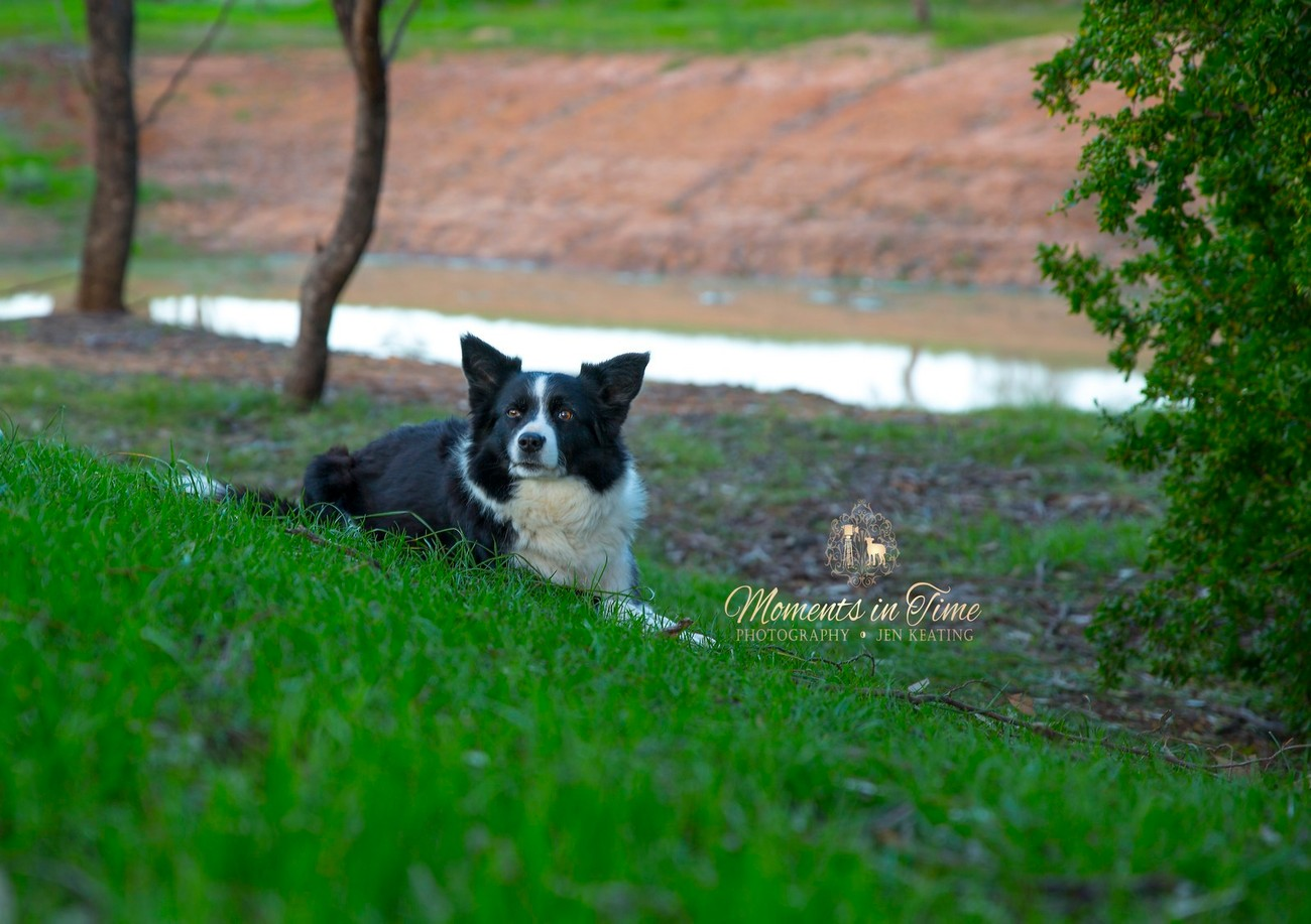 my beautiful border collie watches intensely as she sits on the hill above the dam in the evening light.