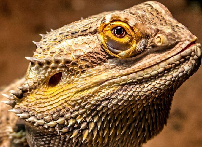 Head of a Dragon  by aprilchervick - Reptiles Photo Contest