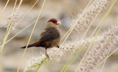 Small bird Gran Canaria