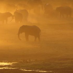 We were headed back to camp in Botswana after our first game drive when I saw these elephants bathed in golden dust. They were kicking up dust th...