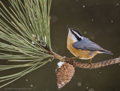 MG_5443-Red reasted nuthatch-nickshearmanphotos.com