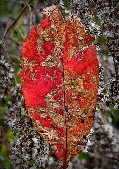 RIMG8009 red autumn leaf