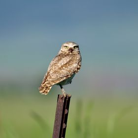 This burrowing owl was getting its morning hunt in as he was flying from fence post to fence post looking for his prey.