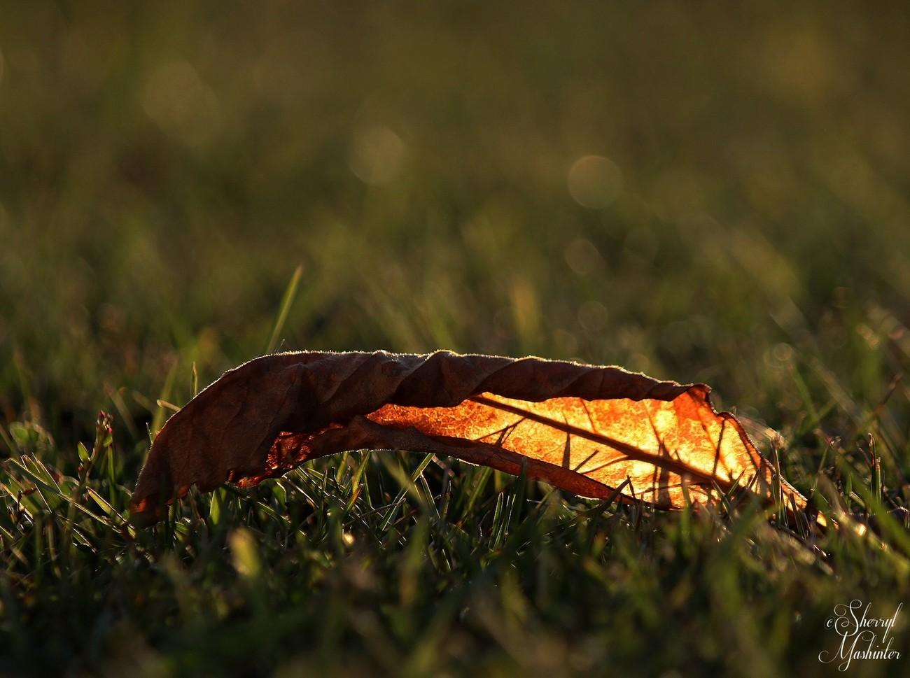 Sun Through the Veins of a Leaf