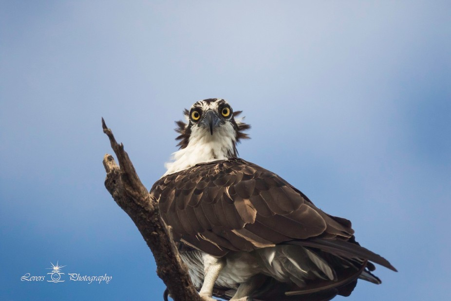 This was taken at Stump Pass in Englewood Florida with a Bower 500 mm f/8 mirror lens. She looked...