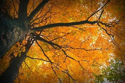 fall maple 2016