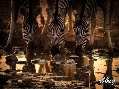 zebra reflecting