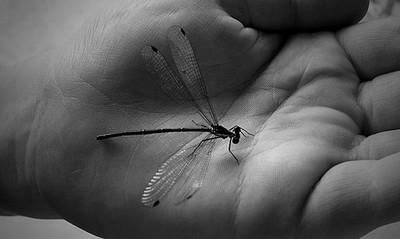 Dragon fly .
