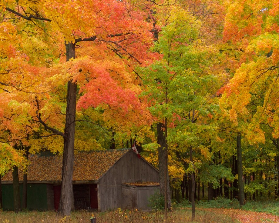 An old shed in a riot of fall colours in Ontario.