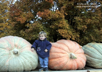 3 year  young  boy next to 3 huge pumpkins - Photo by David R. Smith
