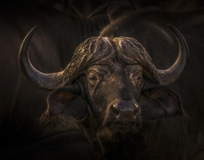 Buffalo IV