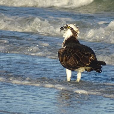 Osprey by the shore 1
