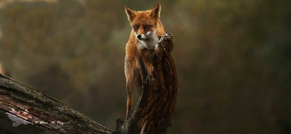 Foxes are no tree climbers, but well you have always exceptions to the rule. Picture was taken in...