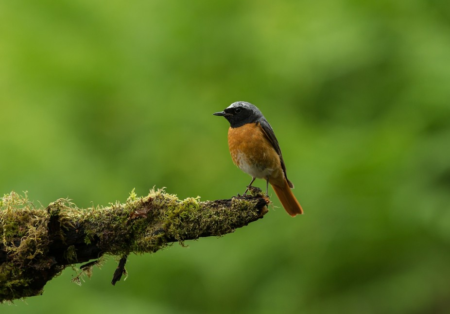 A little Redstart sitting on a branch in the wood's