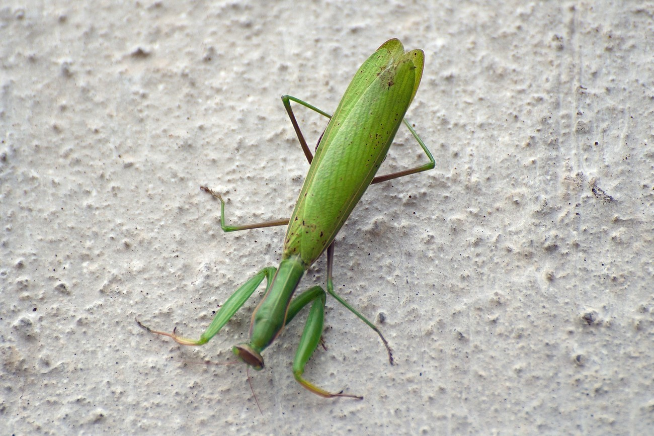Taken with Nikon D5100 using AF-S Nikkor 70-300mm 1:4.5-5.6 G lens. Enhanced and resized using Photoshop Elements 14.1. I noticed this praying mantis on the side of our house in late October.  It was probably about to lay some eggs and then succumb to the impending cold weather.
