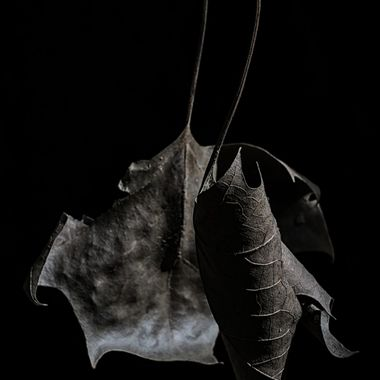 I was walking today when I noticed these two leaves hanging from a dead branch. The branch just happened to be over the hollow of an old tree stump which gave a nice dark background. I shot them in the morning but was not satisfied with the lighting so I went back a few hours later and shot them again. Playing around with the shadows, contrast and black levels in Lightroom and this was what I came up with.