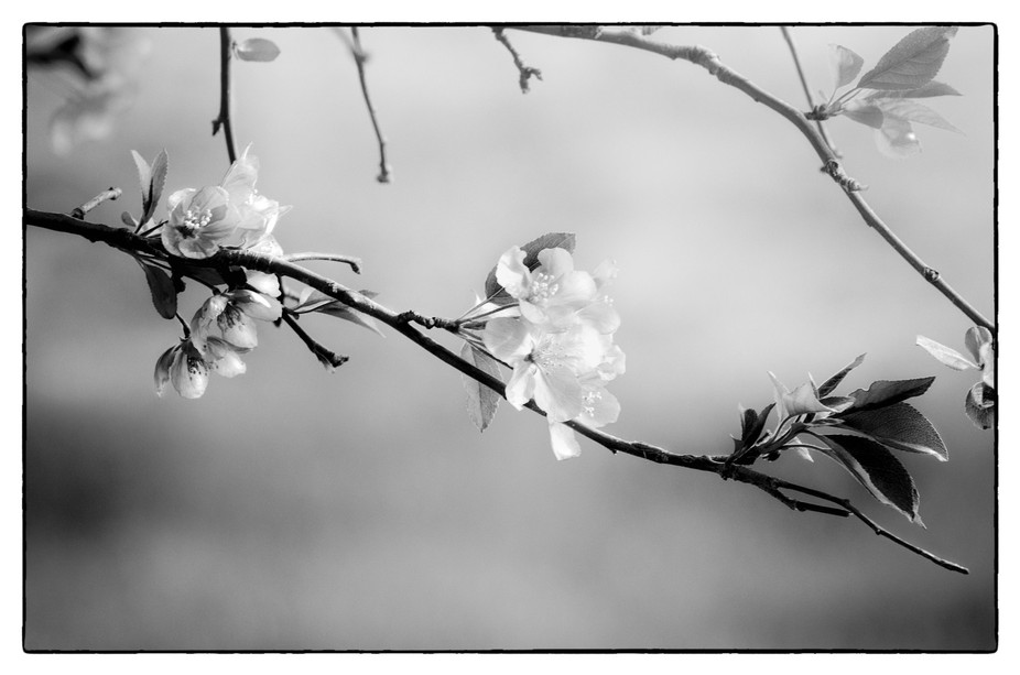 I love shooting our crab apple blossoms in the spring, you know, when everything else is still wa...