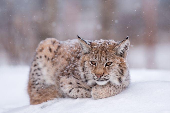 Irja by MariLaegreid - Wildlife In The Snow Photo Contest