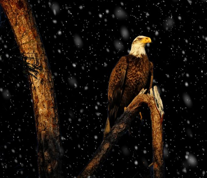 Snowy Night by sandyscott_0995 - Just Eagles Photo Contest