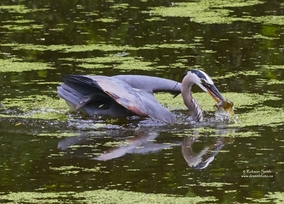 Great Blue Heron on green duck weed covered pond water with caught fish in beak - Ardea herodias - Photo by Robson Smith