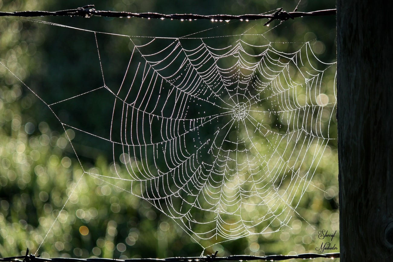 Morning Dew in a Web