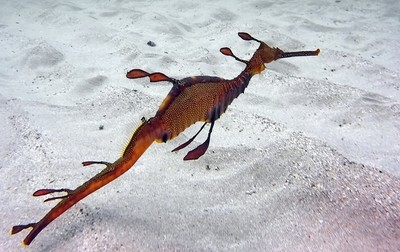The delicate Weedy Sea Dragon
