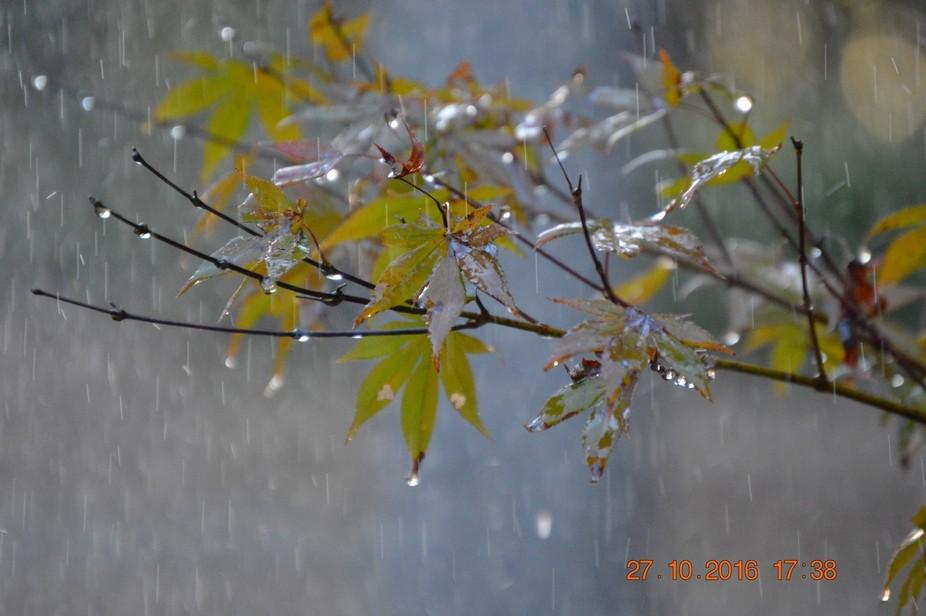 Japanese Maple in Rain