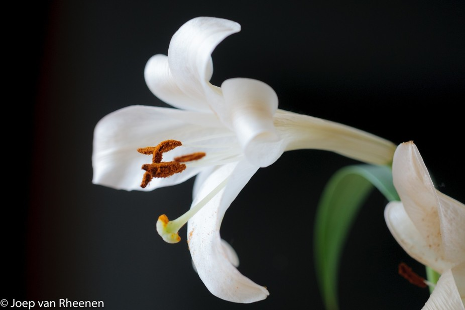 lilys at their end @ joep van rheenen-3