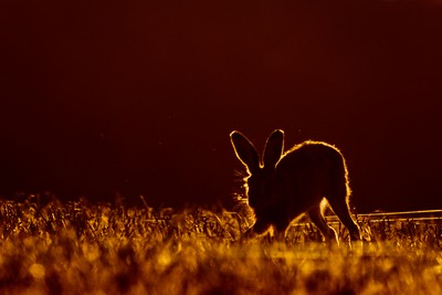 Hare backlit with evening sun